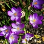 Tommies in the sunshine.... (Crocus tommasinianus (Crocus))