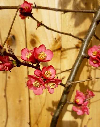 Quince... (Chaenomeles speciosa (Flowering quince))