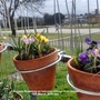 Crocuses_flowering_on_balcony_railings_from_inside_11th_march_2018_002