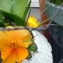 Pansy Orange flowering in trough on balcony from outside (Close up) 11th March 2018 (Viola x wittrockiana)