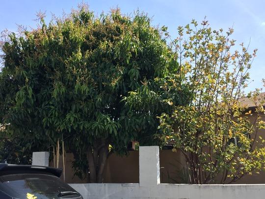 Mango Flowering  (Mangifera indica) (Mangifera indica (Mango))
