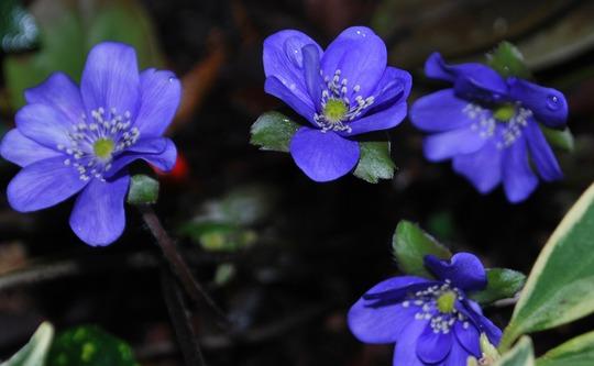 Hepatica Blue Jewel....  (Hepatica transsilvanica Blue Jewel.)