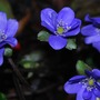 Hepatica Blue Jewel....  (Hepatica transsilvanica Blue Jewel.)