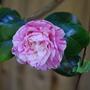Camellia... (camellia...)
