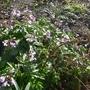 Cardamine pentaphylla - 2018 (Cardamine heptaphylla)