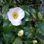 Camellia_japonica_devonia_2018
