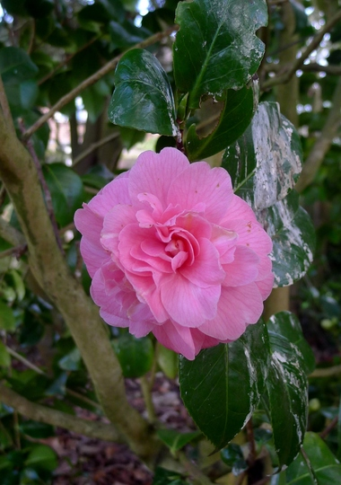 Camellia japonica 'Marguerite Guillon' (reverted flower) - 2018 (Camellia japonica 'Marguerite Guillon')