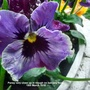 Pansy very close up in trough on balcony floor 15th March 2018 (Viola x wittrockiana)