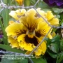 Pansy Yellow with black lines flowering in trough on balcony from outside Close up 11th March 2018 002 (Viola x wittrockiana)