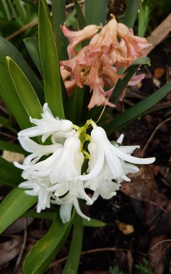 Survivors... (Hyacinth)
