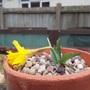 Narcissus minor (Narcissus minor (Lesser Wild Daffodil))