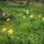 Narcissus lobularis (Narcissus lobularis)