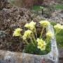 Saxifrage in a trough (Saxifraga)