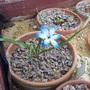 Tecophilaea cyanocrocus 'Leichtlini' (Tecophilaea cyanocrocus)