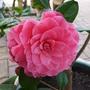 Joans_camellia