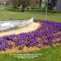 Crocuses_around_spud_mcpat_face_boat_on_the_ring_road_huntingdon_16th_march_2018_001