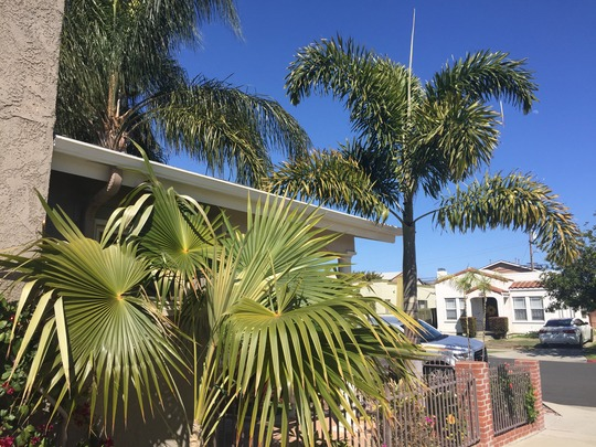 Florida Silver Palm (Coccotrinax argentata) and Foxtail Palm  (Wodyetia bifurcata) (Florida Silver Palm (Coccotrinax argentata) and Foxtail Palm  (Wodyetia bifurcata))