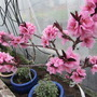 Nectarine flowering so well in the cold greenhouse.