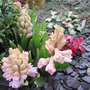 Some of the lovely Hyacinths popping up all over the garden