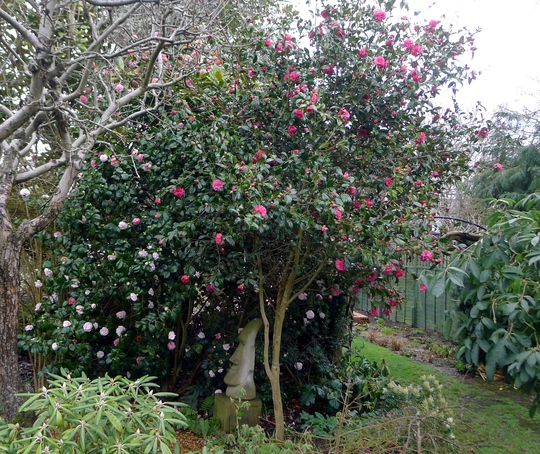 Camellias making up for lost time (Camellia)