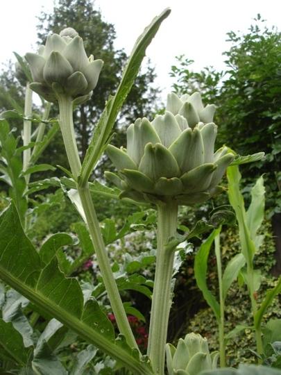 Globe artichoke (Cynara cardunculus)