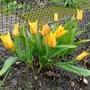 Tulipa praestans 'Shogun' - 2018 (Tulipa praestans)