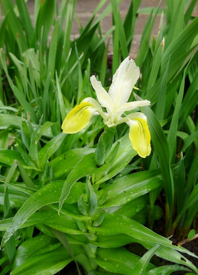 Iris bucharica - 2018 (Iris bucharica (Iris))