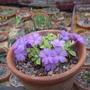 Primula 'Stradbrook Dainty' (Primula)