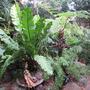 My banana birds nest fern. (Asplenium australasicum (Birds Nest Fern))