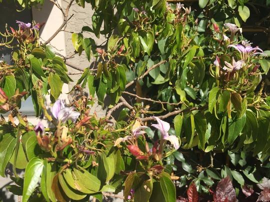 Blue Bauhinia (Bauhinia grandidieri)  Flowering (Bauhinia grandidieri (Blue Bauhinia))