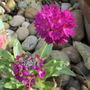 Primula denticulata Ruby (update for my File) (Primula denticulata (Drumstick primula))