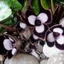 Asarum_maximum_silver_panda_.1