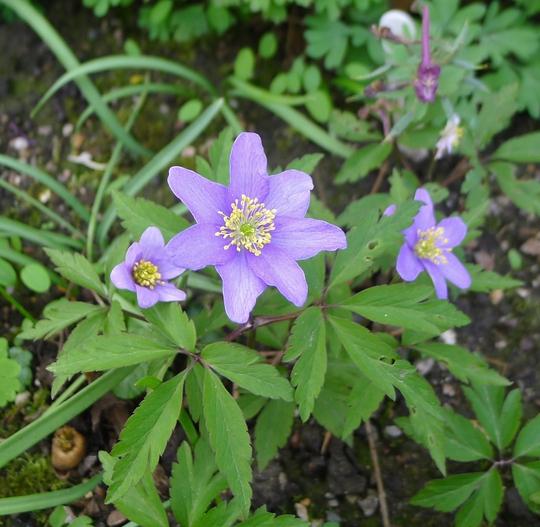 Anemone nemorosa 'Royal Blue' - 2018 (Anemone nemorosa)