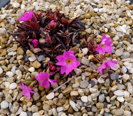 Primula rosea - 2018 (Primula rosea)