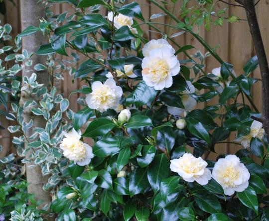 Camellia  Brushfields Yellow and Rhamnus.... (Rhamnus Arenteovariegata.)