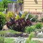 Aeonium in flower (Aeonium arboreum)