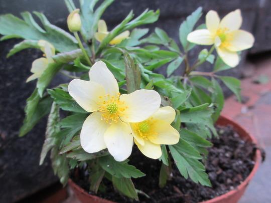 Anemone lipsiensis pallida (For my File) (Anemone lipsiensis)