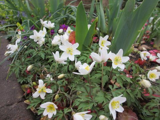 Anemone nemerosa (Anemone nemorosa (Windflower))