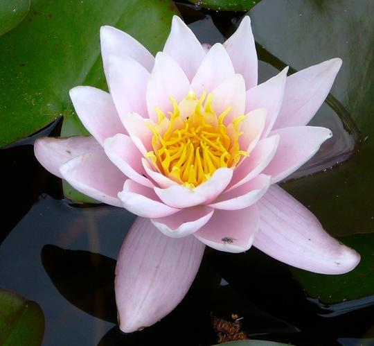 Water lily on lower pond. (Nymphaea alba (Nenufar Blanco))