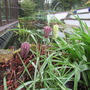 Fritillaria (Fritillaria michailovskyi (Fritillary))