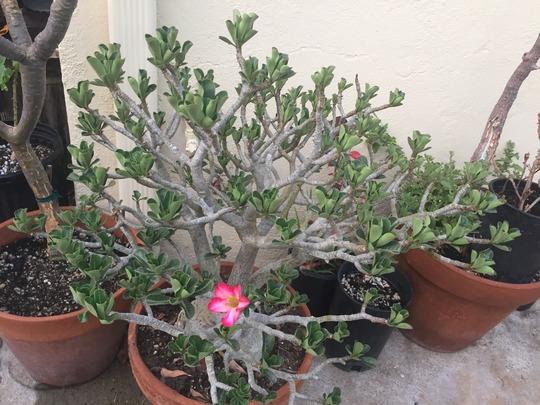 Adenium obesum - Desert Rose Flower (Adenium obesum - Desert Rose)