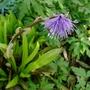 Heloniopsis_tubiflora_temple_blue_2018