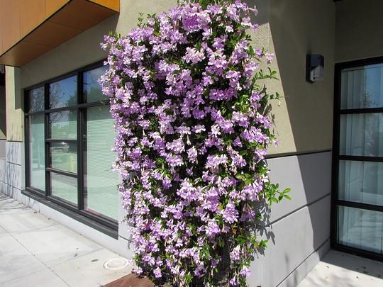 Violet Trumpet vine. (Clytostoma callistegioides)