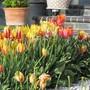 California Tulips. (Tulipa acuminata (Tulip))