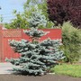 Blue Spruce and Orange Tree. (Picea pungens (Colorado Blue Spruce))