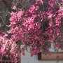 Leucospermum. New Zealand Tea Tree. (Leucospermum reflexum (Geel Perdekop))