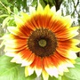 Unusual coloured sunflower (Helianthus annuus (Sunflower))