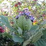 Wigandia in bloom. (Wigandia carascana)