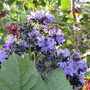 Wigandia bloom up close. (Wigandia)