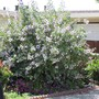 Lavatera 2.Whole plant. (Lavatera)